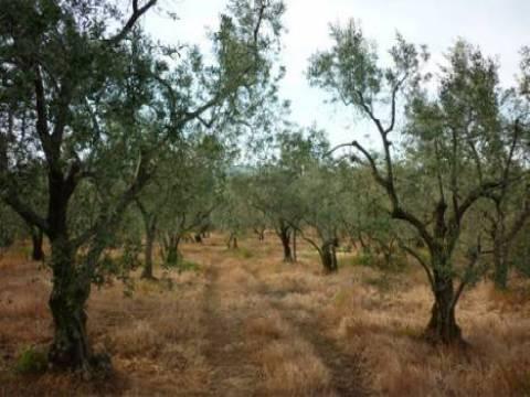 Zeytin alanları yatırıma açılacak mı?